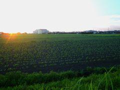 [写真]夕暮れの大豆畑