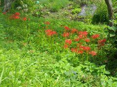 [写真]曼珠沙華が咲いているところ