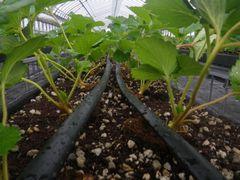[写真]高設ベッドに設置した灌水チューブ