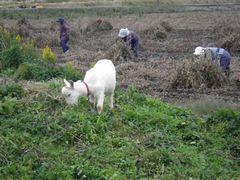 [写真]草を食べる子ヤギ・アランと大豆を収穫するおばあちゃん達