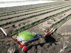 [写真]長ネギの苗を植え付けているところ