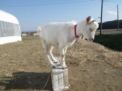 [写真]餌箱に登って遊ぶ子ヤギ・アラン
