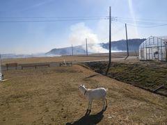 [写真]田んぼの野焼きの様子を眺める子ヤギ・アラン