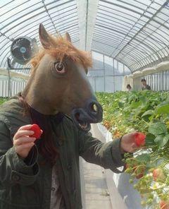 [写真]お馬さんがイチゴを摘んでいるところ