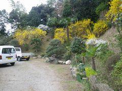 [写真]家の裏山に咲くレンギョウ
