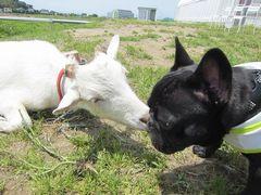 [写真]子ヤギ・アランがフレンチブルドッグのアールにキスしているところ