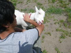 [写真]アランが、汗をかいた農園主の腕を舐めているところ
