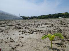 [写真]整地された隣の畑に生え始めた雑草