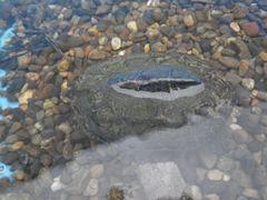 [写真]水桶の中でカメのクロちゃんが浮いている様子