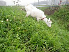 [写真]草を食べようと首を伸ばすアラン