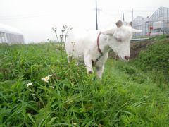 [写真]濡れていない草を探すアラン