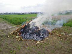 [写真]イチゴの苗を野焼きしている様子