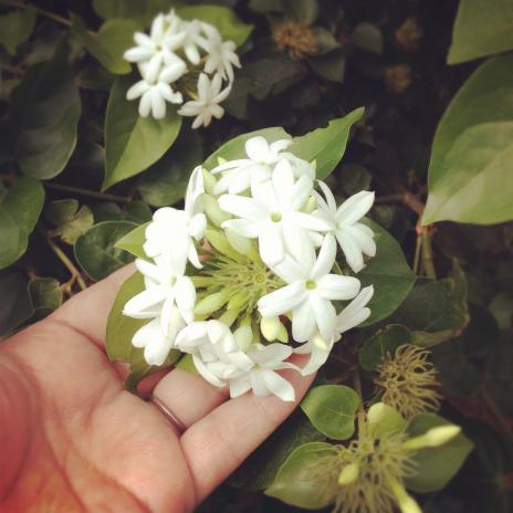 献花(白)