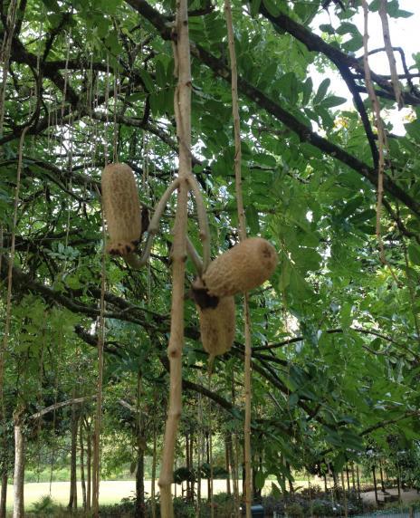 ソーセージの木