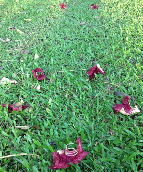 ソーセージの花、落ちている所