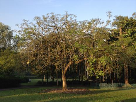 ソーセージの木、全景