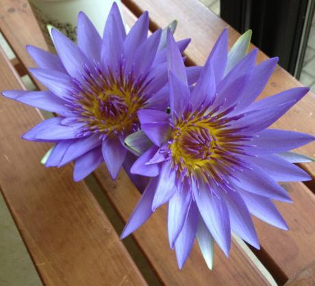 蓮の花ブルー