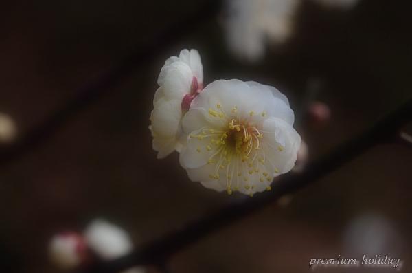 plum_7163_f.jpg