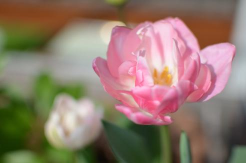 チューリップ咲いた♫