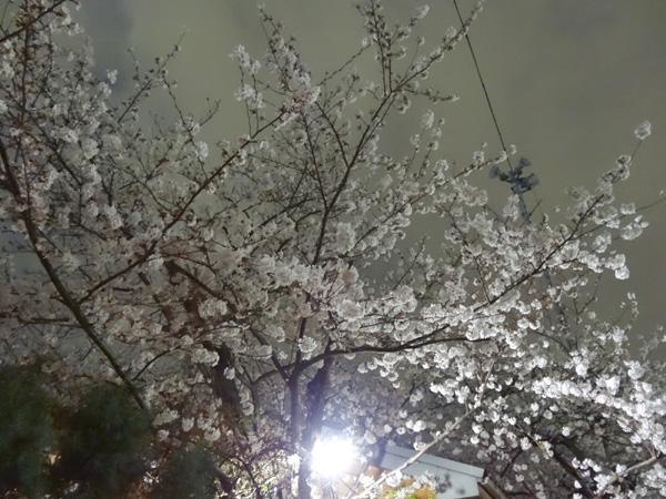 130323_08夜桜