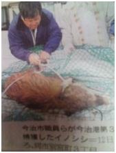 犬達のSOS!! 愛媛県で、捕獲され 殺処分された猪の写真