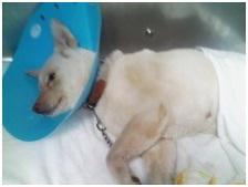 東温市犬達のSOS⑧致死量の睡眠薬餌から奇跡的に生還したシロ犬