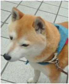 愛媛県松山から犬達のSOS。福島被災者の一時帰宅にペットは連れ帰れませんが明日から救出!!①002
