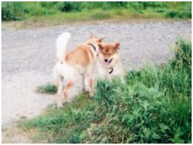 愛媛県食肉衛生検査センターに異動で逃がされた県保健所の得居獣医の毒吹き矢で倒れたワサビ君今高知で002
