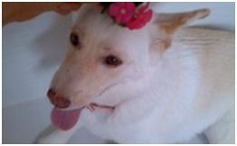 虐待捕獲の末、毒ガス室の殺処分前日に助けられた姫ちゃん日記⑪&プリンス銀次郎.犬達のSOS016