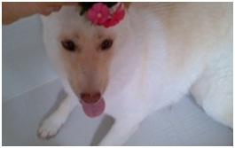 虐待捕獲の末、毒ガス室の殺処分前日に助けられた姫ちゃん日記⑪&プリンス銀次郎.犬達のSOS017