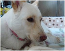 愛媛県保健所の職員達に虐待捕獲の末、毒ガス室前日に助けられた姫ちゃん⑱ロンちゃん家にホームステイ17