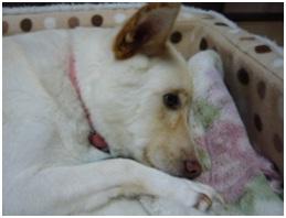 愛媛県保健所の職員達に虐待捕獲の末、毒ガス室前日に助けられた姫ちゃん⑱ロンちゃん家にホームステイ020