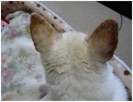 愛媛県保健所の職員達に虐待捕獲の末、毒ガス室前日に助けられた姫ちゃん⑱ロンちゃん家にホームステイ037