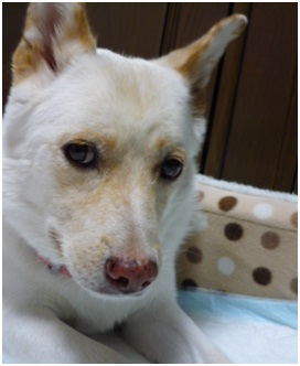 愛媛県保健所の職員達に虐待捕獲の末、毒ガス室前日に助けられた姫ちゃん⑱ロンちゃん家にホームステイ039