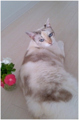犬達のSOSこのままだと危ない!猫虐待エリアに捨てられていた天使のような白猫(マルル)を無事保護004