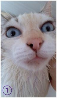 犬達のSOSこのままだと危ない!猫虐待エリアに捨てられていた天使のような白猫(マルル)を無事保護005