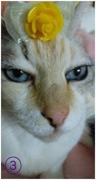 犬達のSOSこのままだと危ない!猫虐待エリアに捨てられていた天使のような白猫(マルル)を無事保護007
