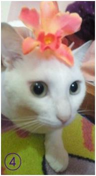 犬達のSOSこのままだと危ない!猫虐待エリアに捨てられていた天使のような白猫(マルル)を無事保護008