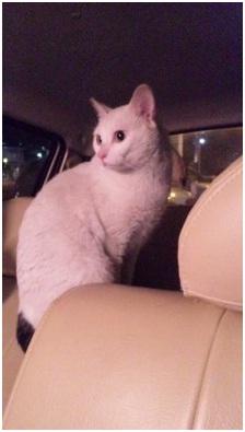 犬達のSOSこのままだと危ない!猫虐待エリアに捨てられていた天使のような白猫(マルル)を無事保護010