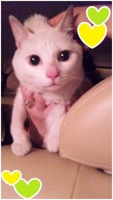 犬達のSOSこのままだと危ない!猫虐待エリアに捨てられていた天使のような白猫(マルル)を無事保護012