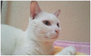 犬達のSOSこのままだと危ない!猫虐待エリアに捨てられていた天使のような白猫(マルル)を無事保護015