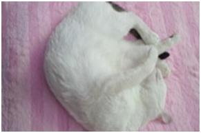 犬達のSOSこのままだと危ない!猫虐待エリアに捨てられていた天使のような白猫(マルル)を無事保護016