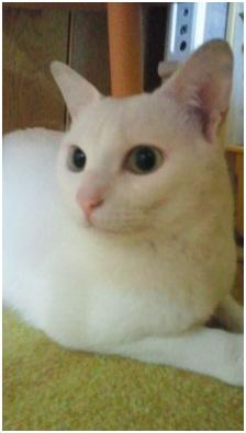 犬達のSOSこのままだと危ない!猫虐待エリアに捨てられていた天使のような白猫(マルル)を無事保護017