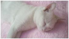 犬達のSOSこのままだと危ない!猫虐待エリアに捨てられていた天使のような白猫(マルル)を無事保護018