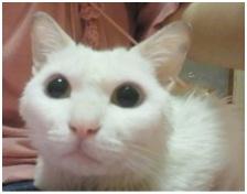 犬達のSOSこのままだと危ない!猫虐待エリアに捨てられていた天使のような白猫(マルル)を無事保護019