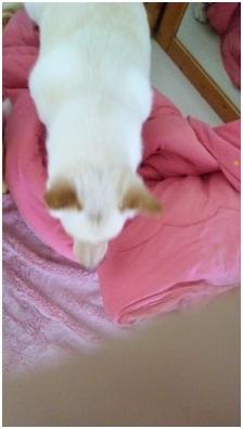 犬達のSOSこのままだと危ない!猫虐待エリアに捨てられていた天使のような白猫(マルル)を無事保護022