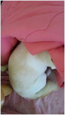 犬達のSOSこのままだと危ない!猫虐待エリアに捨てられていた天使のような白猫(マルル)を無事保護023