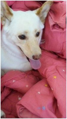 犬達のSOSこのままだと危ない!猫虐待エリアに捨てられていた天使のような白猫(マルル)を無事保護024
