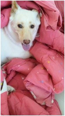 犬達のSOSこのままだと危ない!猫虐待エリアに捨てられていた天使のような白猫(マルル)を無事保護025