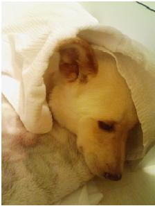 犬達のSOS東温市市役所職員と得居獣医の致死量睡眠薬餌と殺処分寸前の恐怖の後遺症①姫ちゃん頑張れ005